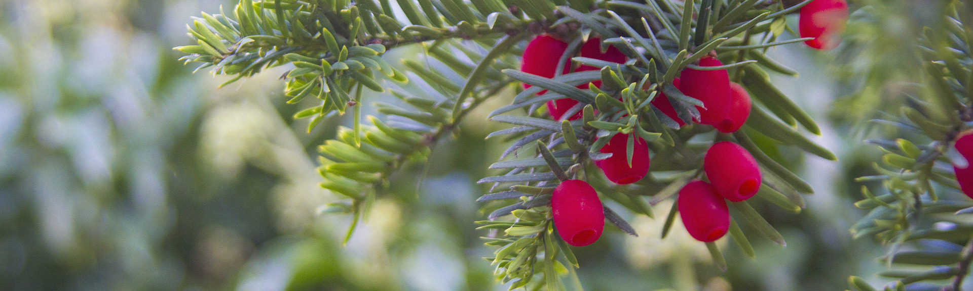 Red pine berries at Marywood