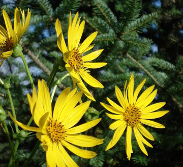 yellow_flowers_in_pine